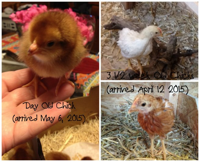 And now here's a comparing shot of the babies and the three week olds.  I am definitely GLAD I moved the older ones out of the box and into the coop!  They're huge compared to these little guys!