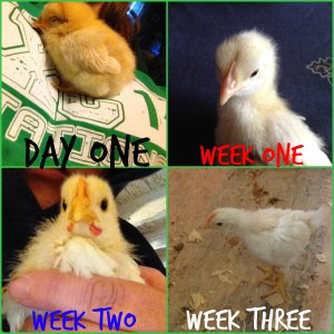 ChickensWeekThree