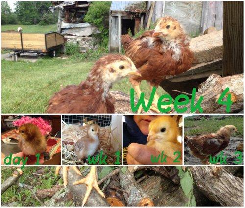 Rhode Island Red chicks, age 4 Weeks.