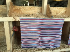 One of the sexlink hens checking out the laying box.