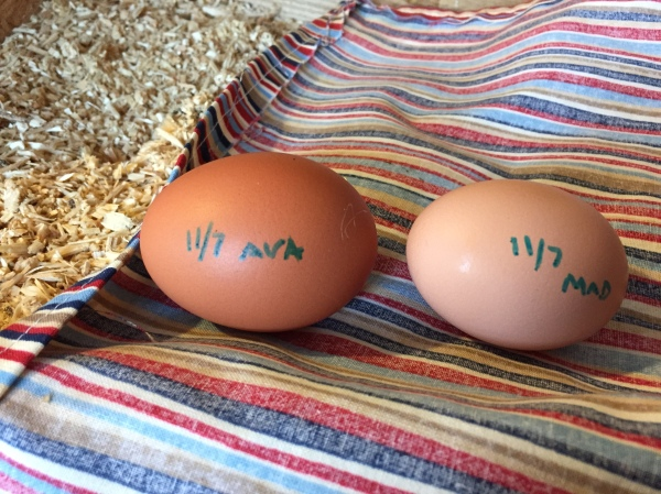 These are not Abby's eggs.  These two belong to Ava and Madison