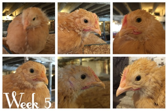 Buff Orpington Chicks - 5 Weeks Old