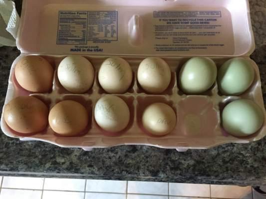 The eggs - chocolate Orpington, Sulmlater, Pavlovskaya, and Easter Egger. Total 11 eggs.